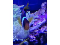 MARINE FISH / THIS IS A VERY UNUSUAL AND HARD TO FIND BLUE STRIPE CLOWNFISH Amphiprion chrysopterus