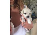 2 x male chihuahua x jack Russel puppy's