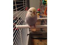 2 Budgies (with cage) + month supply of food and a box of toys