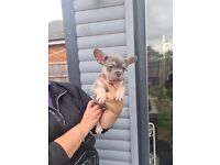 Merle French bulldogs for sale