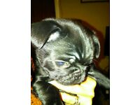 7/8ths black pug puppies (2 boys left)