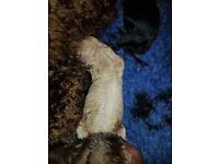 Kc reg health tested miniture poodles