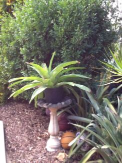 Bromilad plant  Cornubia Logan Area Preview