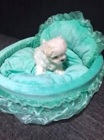 Maltese puppy Boy KC REGISTERED