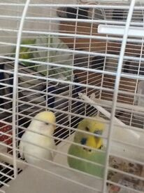 Bird cage and 2 budgies