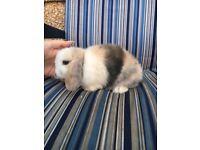 Gorgeous purebred mini lop babies