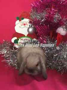 ♥♥♥ Georgous Purebred Mini Lops Just in Time for Xmas ♥♥♥ Londonderry Penrith Area Preview