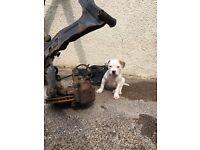 American Bulldog Pup for sale full pedigree
