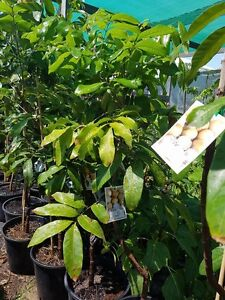 Tropical fruit tree & Plants for sale Mount Lawley Stirling Area Preview
