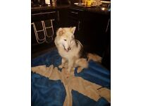 Husky Cross Needing A Forever Home