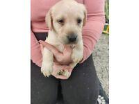 Golden Labrador pups for sale