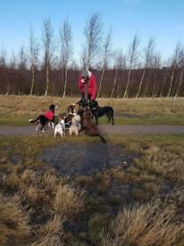 ACTIVE DOG WALKING - groups or 1 to 1. Insured. Experienced. Pickup/drop off.