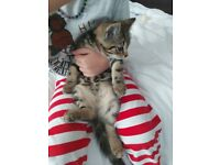 2 Little beautifull kittens for Sale Black and striped