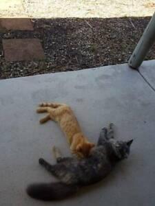 pet kitten $75