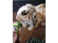Rabbit for sale full set up