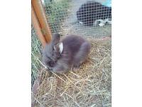 Double mane lionhead rabbits