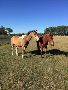 Agistment needed!!!! For 2 horses Beresfield Newcastle Area Preview