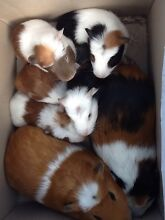 Baby Guinea pigs Wauchope Port Macquarie City Preview