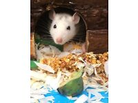 Friendly female rats are looking for a new home
