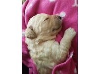 Multi Gen Labradoodle Puppies for sale - 5 boys and 3 girls