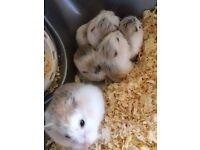 5 Roborovski hamster pups.