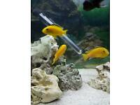 Labidochromis Caeruleus Cichlids for sale