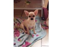 Stunning Chihuahua pup for sale