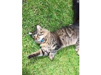 MISSING Male Tabby CAT Howden Clough / Birstall West Yorkshire
