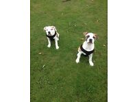 15 week old American bull mastive puppy for sale