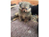 Pomeranian Puppies, beautiful litter