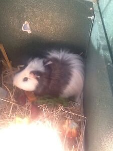 Guinea pig Karrinyup Stirling Area Preview