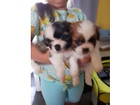 For Sale Shih Tzu Puppies, 2 BOYS AND A GIRL
