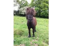 Shetland gelding for sale