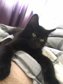 Black, Male, 8 months old cat. Neutered. Free to good home.