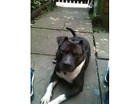 2 year old staffy for sale £60 ono