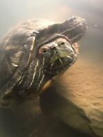 Two turtles looking for a forever home