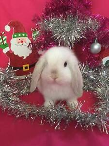 ♥♥♥ Mini Lop Rabbit Hutch Starter Package ♥♥♥ Londonderry Penrith Area Preview