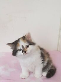 10 week old gorgeous female kitten for sale with all accessories £140
