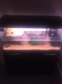 2 x musk turtles with tank