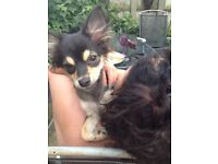 6 month Chihuahua puppy for sale