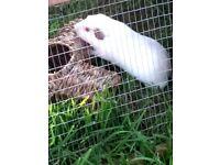4 guinea pigs for sale, 2 male 2 female