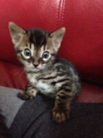 female Bengal kitten
