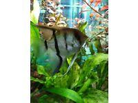 Angelfish and lots of swordtail