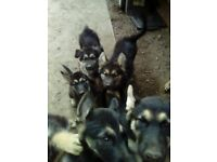 Alaskan Shepherds