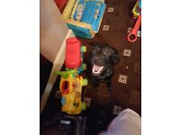 labrador 11 months old