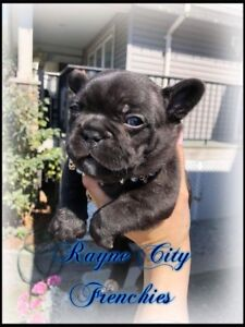 CKC Registered French Bulldog Puppies! Ready Oct 1st