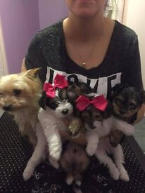 Yorkshire terrier puppies for sale now
