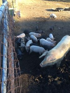 Piglets for sale East Kurrajong Hawkesbury Area Preview