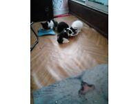 For sale little kittens