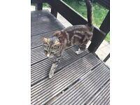 1 LOVELY MID CAT FOR £50